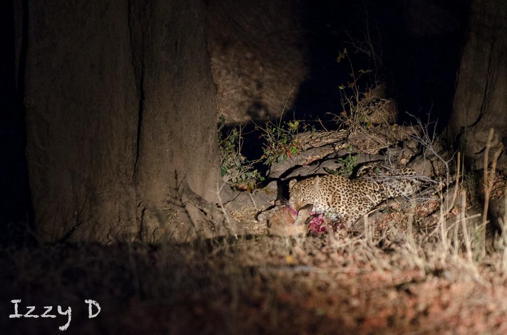 Leopard6OctIzzy4.162558.jpg