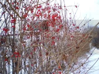 Bright berried bushes