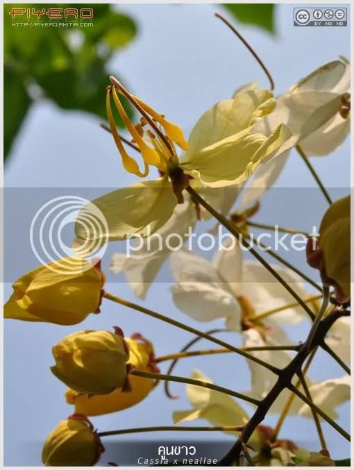 คูนขาว, คูนดอกขาว, คูนสายรุ้ง, รัตนพฤกษ์, Cassia x nealiae, Rainbow Shower Tree, ต้นไม้, ดอกไม้, aKitia.Com