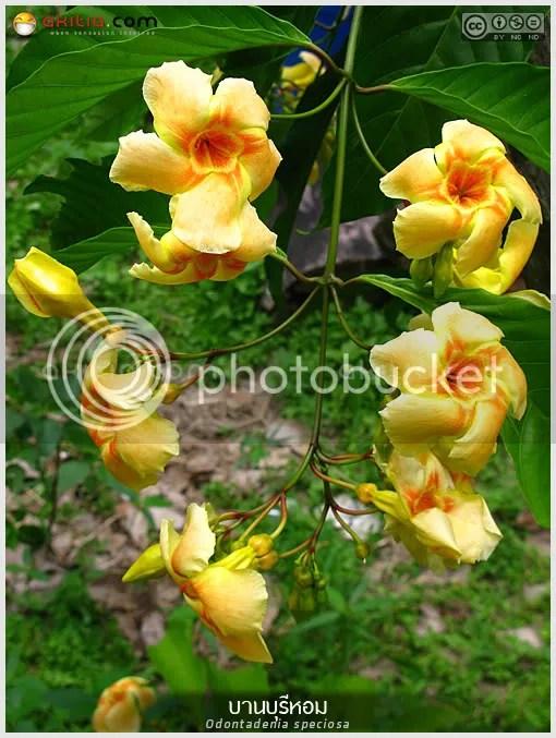 บานบุรีหอม, บานบุรีแสด, Odontadenia macrantha, ไม้ดอกหอม, ไม้เลื้อย, ดอกสีเหลือง, ออกดอกทั้งปี, ไม้ดอก, ไม้ประดับ, ต้นไม้, ดอกไม้, aKitia.Com