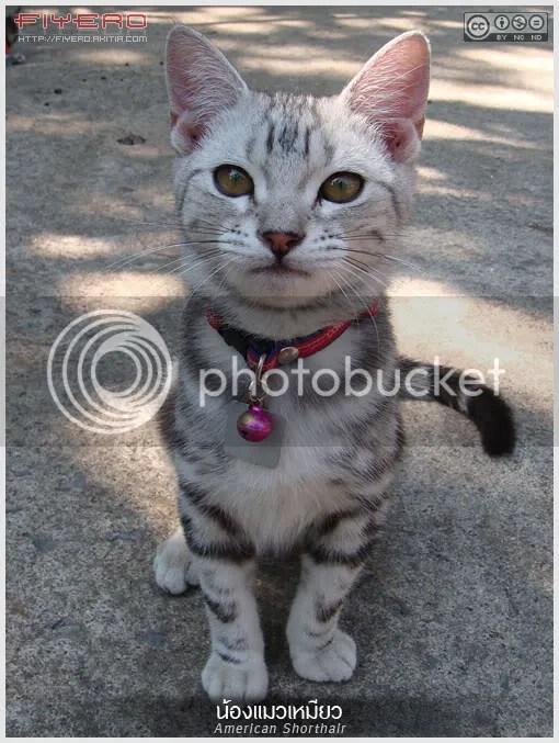 แมว, American Shorthair, aKitia.Com