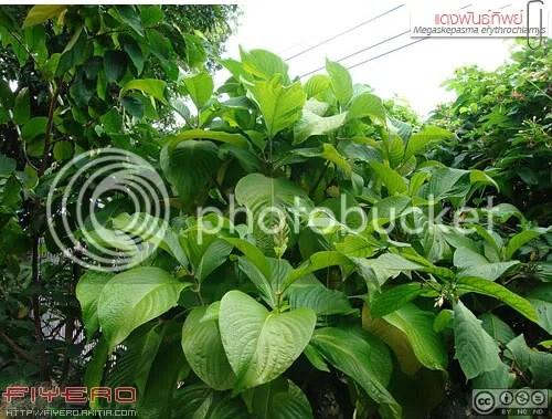 แดงพันธุ์ทิพย์, หางหงส์, แดงคีรีบูน, คีรีบูนแดง, สายรุ้ง, ต้นไม้หายาก, Brazilian Red Cloak, Megaskepasma erythrochlamys, Red Justicia, ต้นไม้, ดอกไม้, aKitia.Com