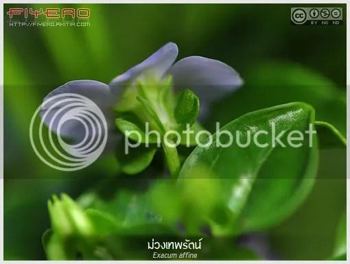 ม่วงเทพรัตน์, ดาวล้อมเดือน, เอ็กซาคัม, ไวโอเล็ต, Exacum affine,  Persian Violet, German Violet, ไม้ดอกหอม, ไม้กระถาง, ต้นไม้, ดอกไม้,  aKitia.Com