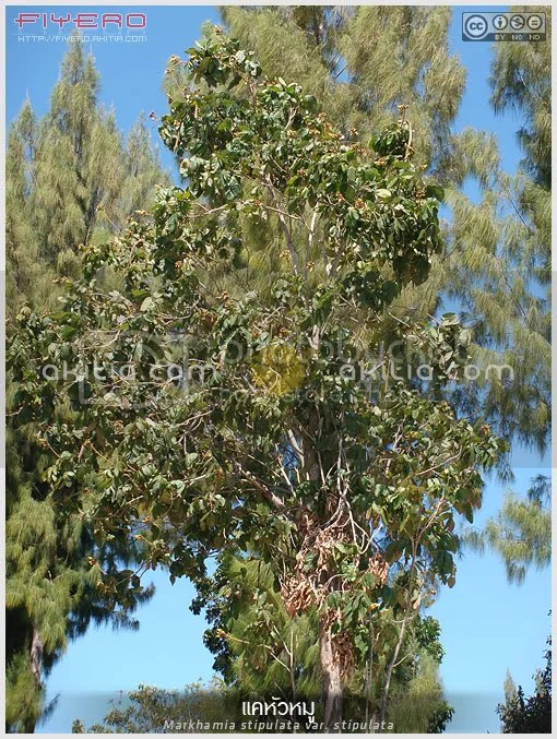 แคหัวหมู, แคหมู, แคหางค่าง, Markhamia stipulata var stipulata, แคอาว, ขุ่ย, แคว, แคขอน, แคปุ๋มหมู, แคยอดดำ, แคหมากลิ่ม, ไม้ไทย, ไม้ดอกหอม, ไม้ยืนต้น, ไม้ป่า, ผักพื้นบ้าน, ดอกใหญ่, ต้นไม้, ดอกไม้, aKitia.Com