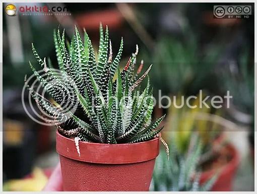 ม้าลาย, Haworthia fasciata, Zebra Haworthia, ม้า, ไม้ทนแล้ว, ไม้อวบน้ำ, ไม้ประดับ, ไม้กระถาง, ต้นไม้, ดอกไม้, aKitia.Com