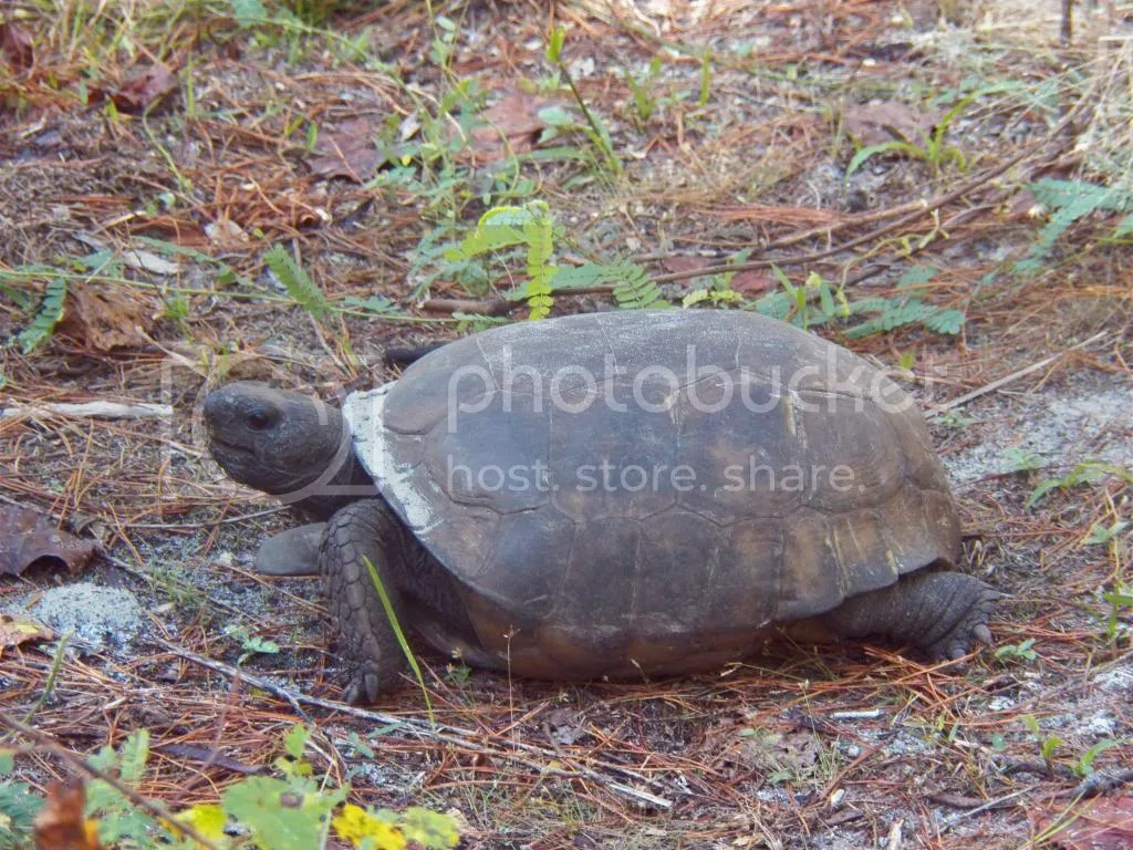 photo gopher-tortoise.jpg
