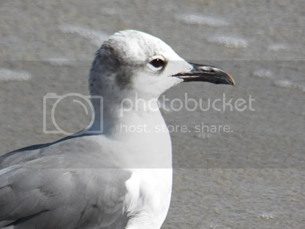 photo laughing-gull-winter3.jpg