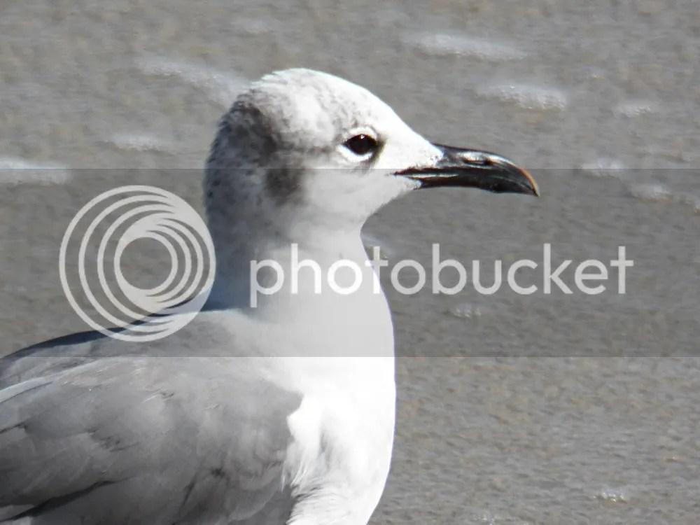 photo laughing-gull-winter3.jpg