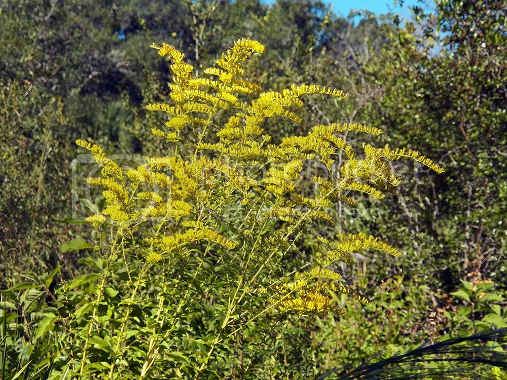 photo efs-goldenrod.jpg