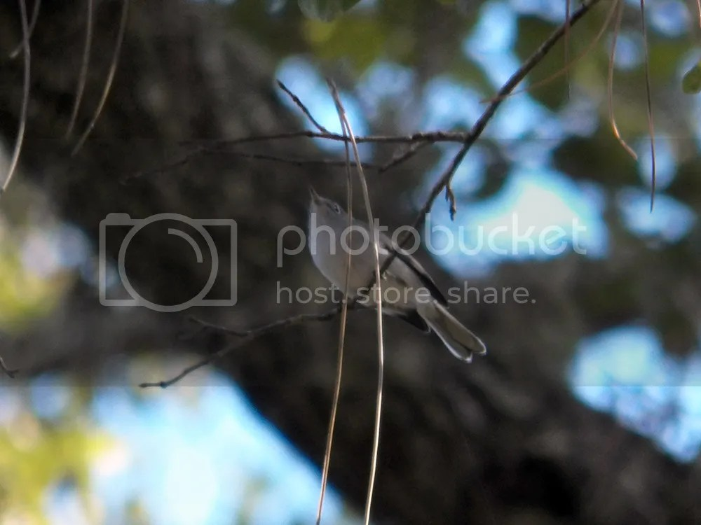 photo gnatcatcher.jpg