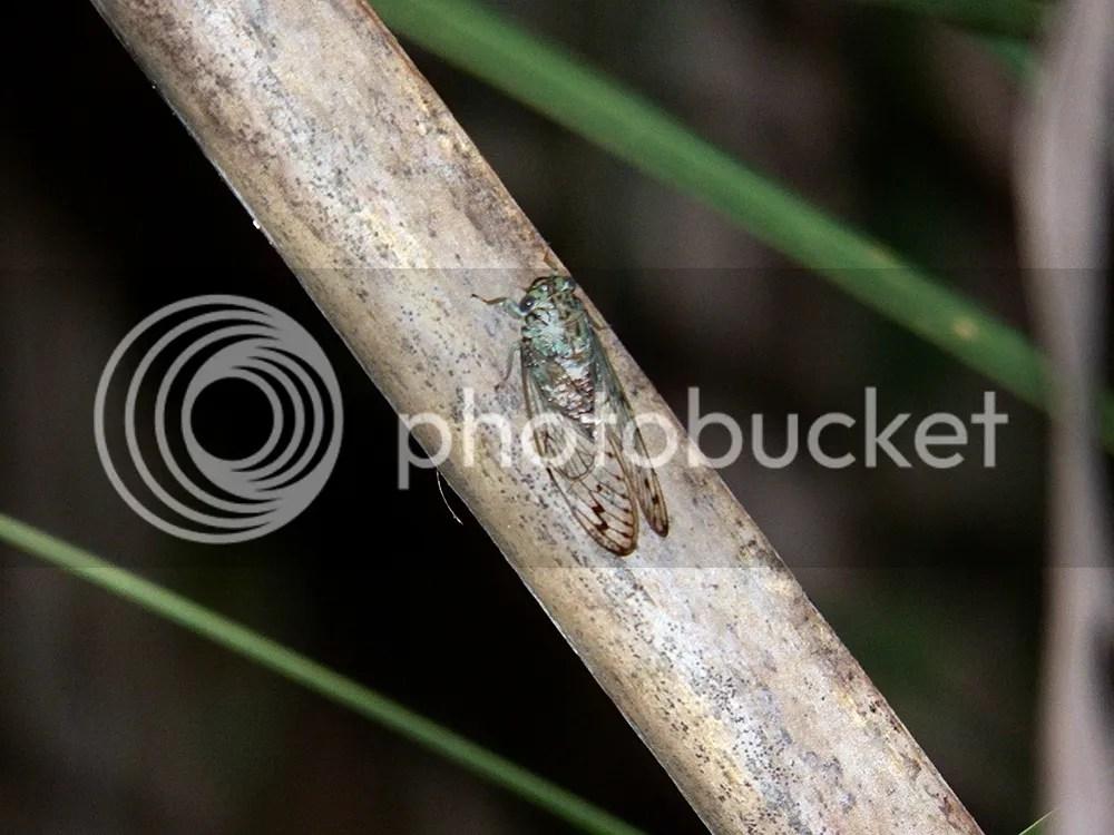 photo green-cicada.jpg