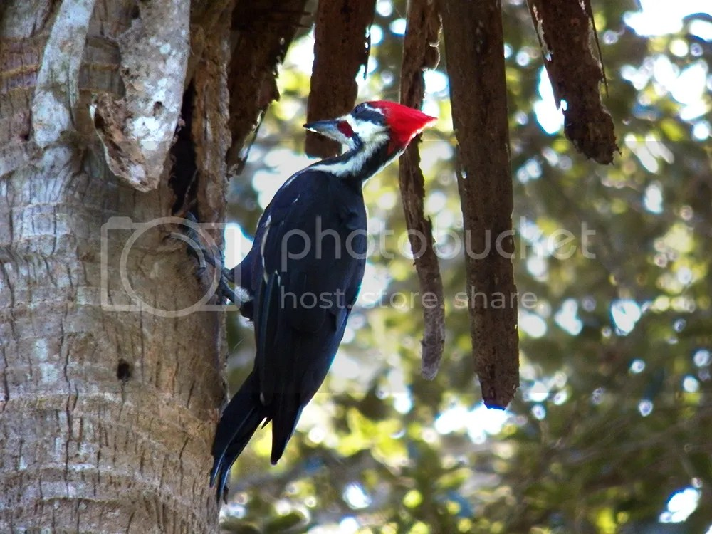 photo pileated-woodpecker.jpg