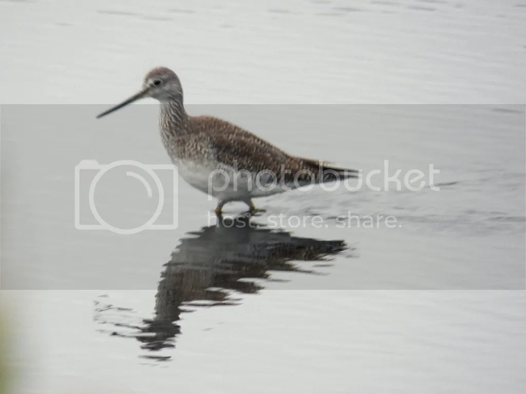 photo greater-yellowlegs.jpg