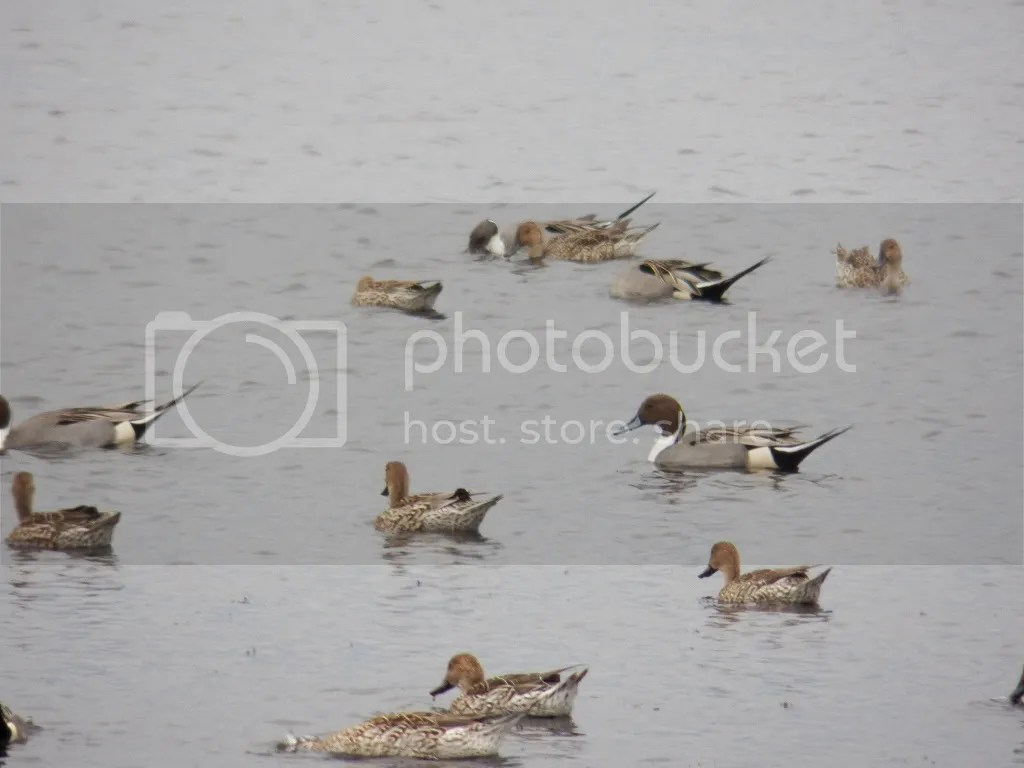 photo pintails2.jpg