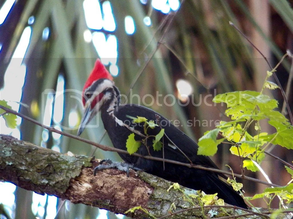 photo pileated.jpg