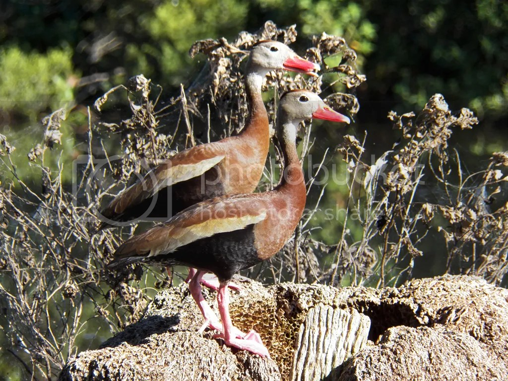 photo black-bellied-whistling-ducks.jpg