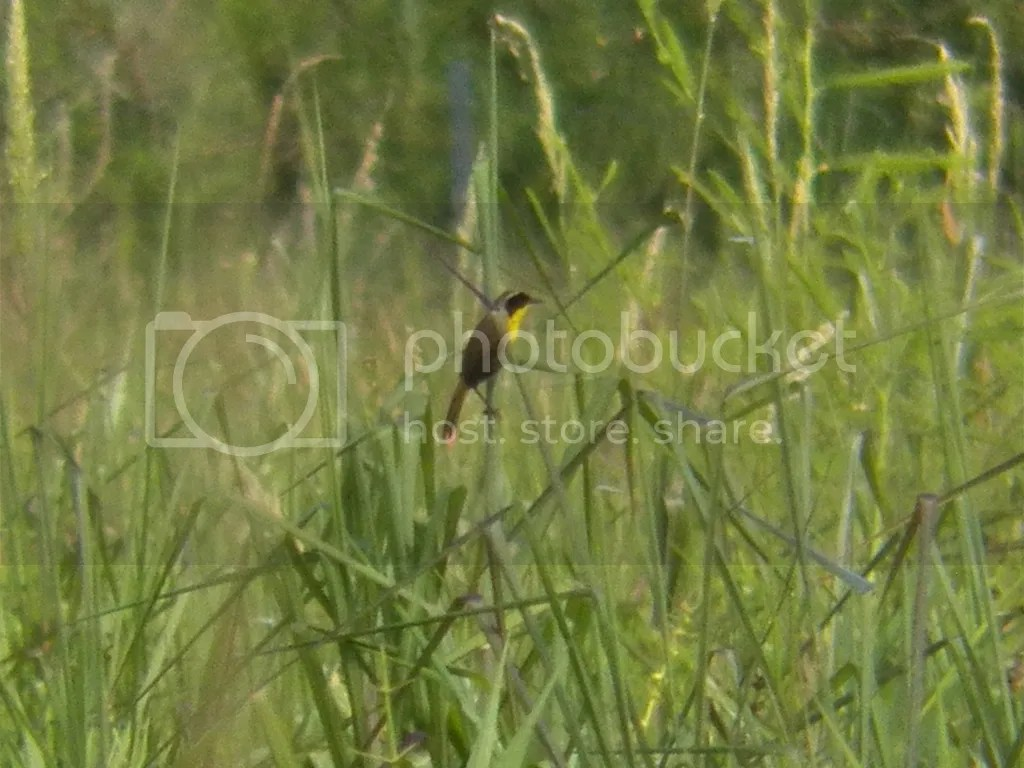 photo common-yellowthroat.jpg