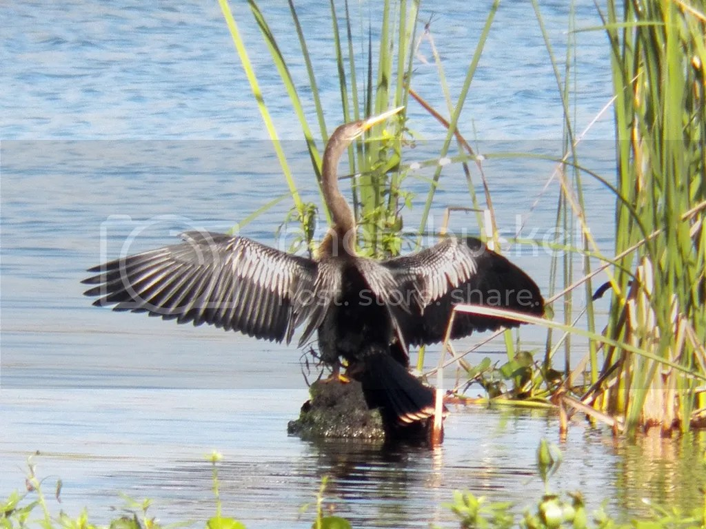 photo anhinga.jpg
