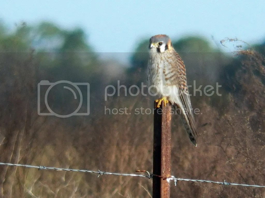 photo american-kestrel.jpg