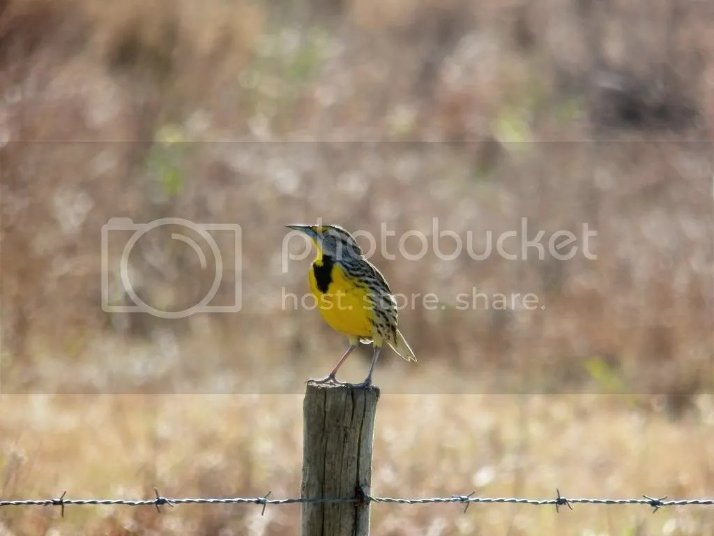 photo meadowlark.jpg