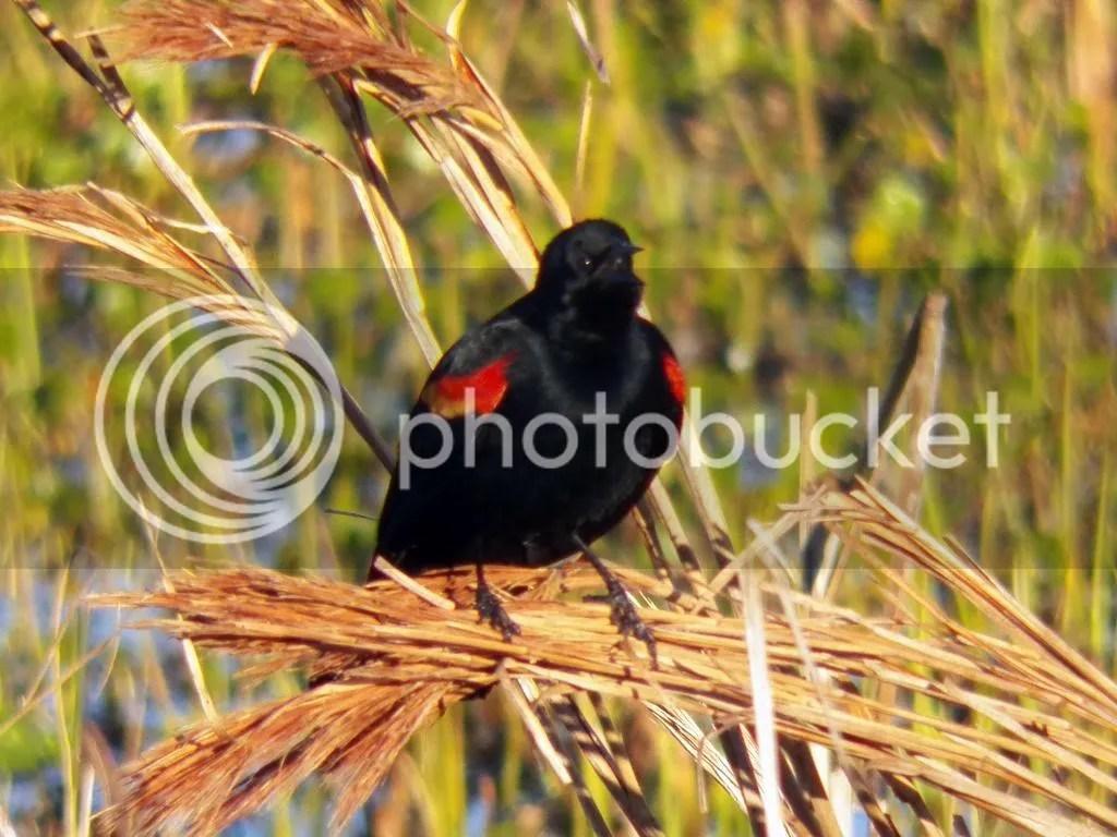 photo red-winged-black-bird-display.jpg