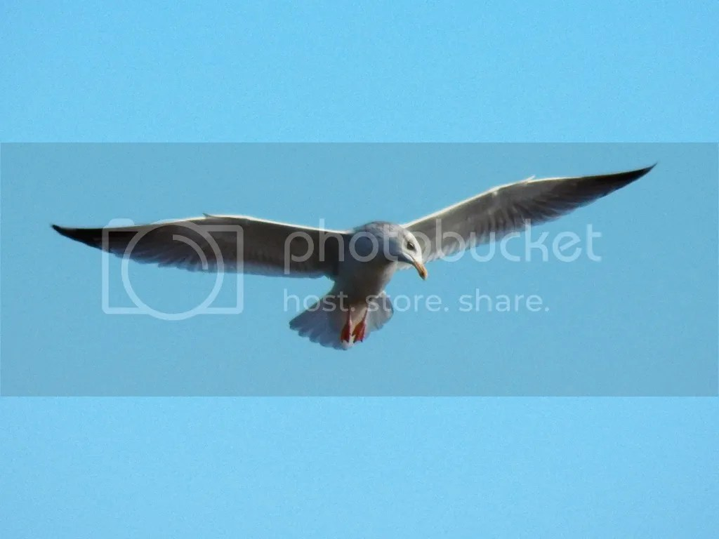photo herring-gull.jpg