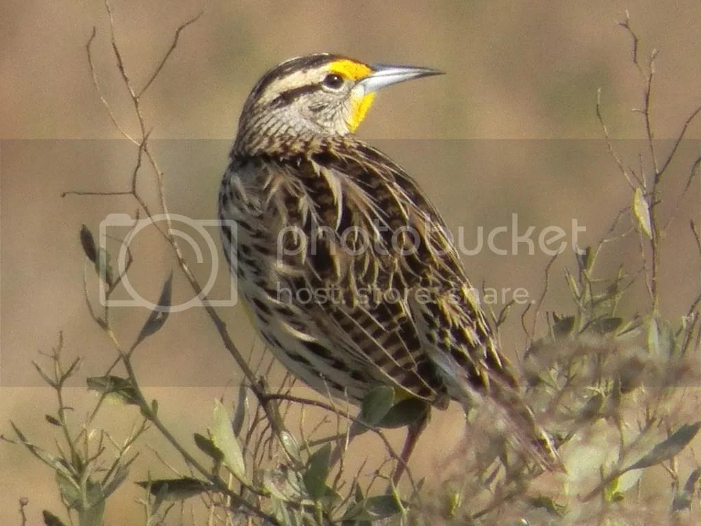 photo eastern-meadowlark-cbsf.jpg