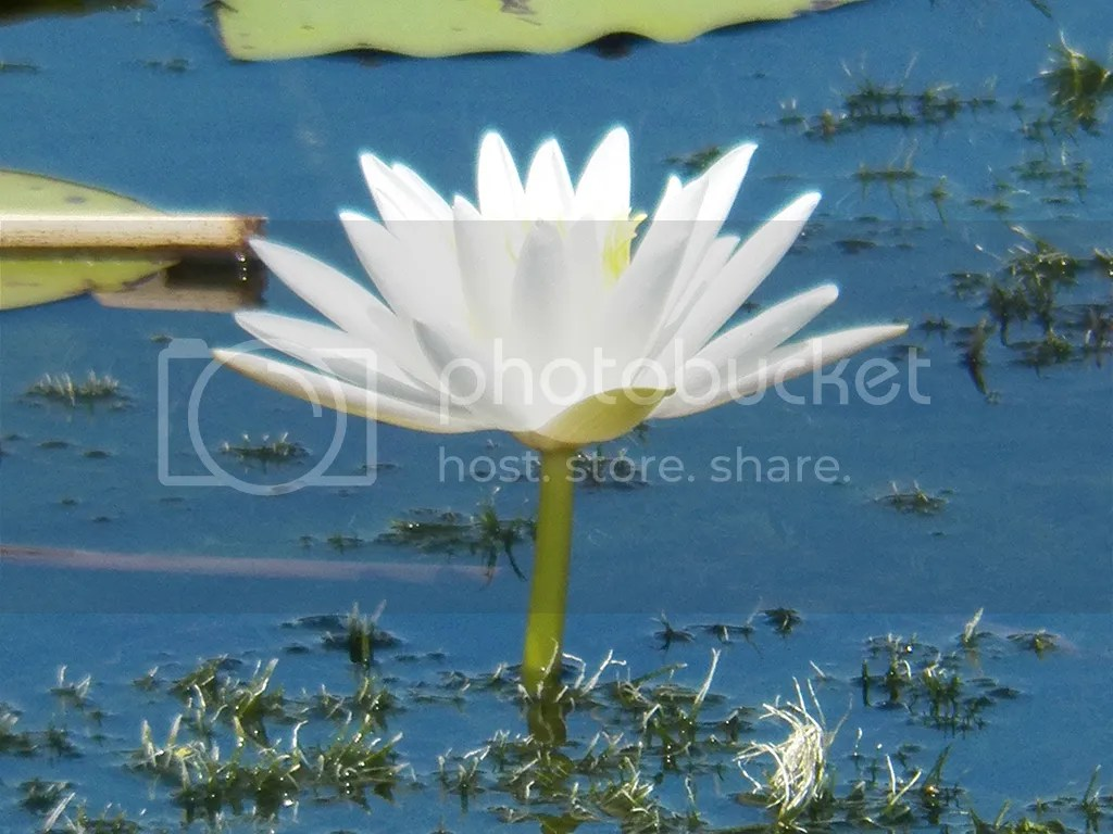 photo water-lily.jpg