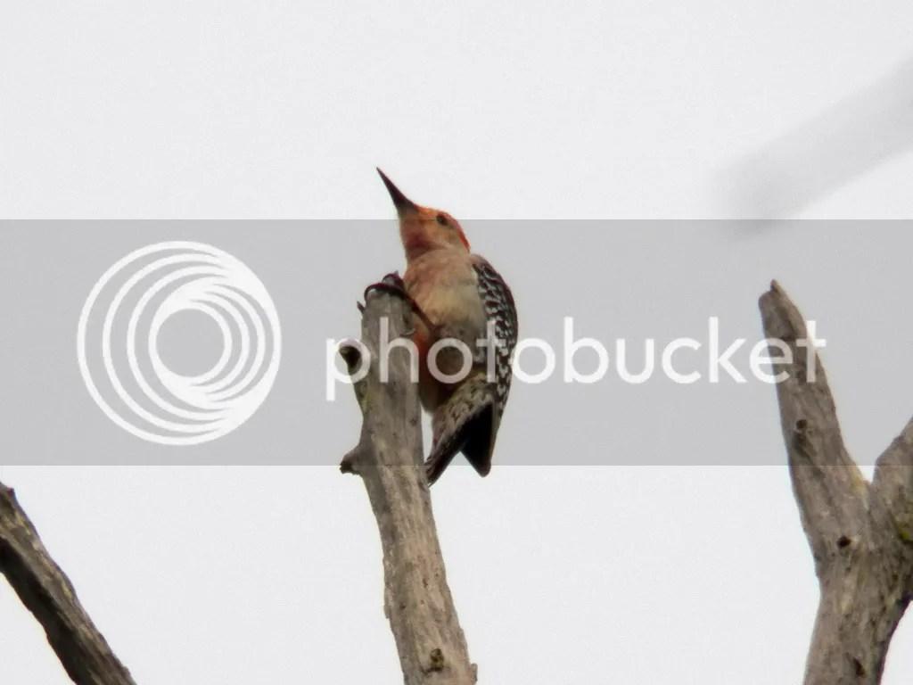 photo red-bellied-woodpecker.jpg