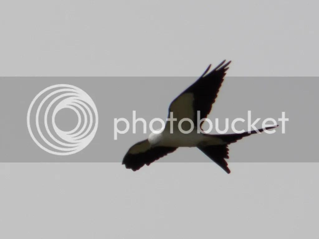 photo swallow-tailed-kite.jpg