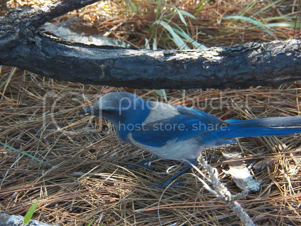 photo florida-scrub-jay.jpg