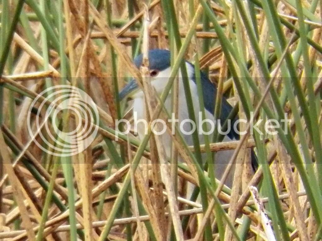 photo black-crowned-night-heron.jpg