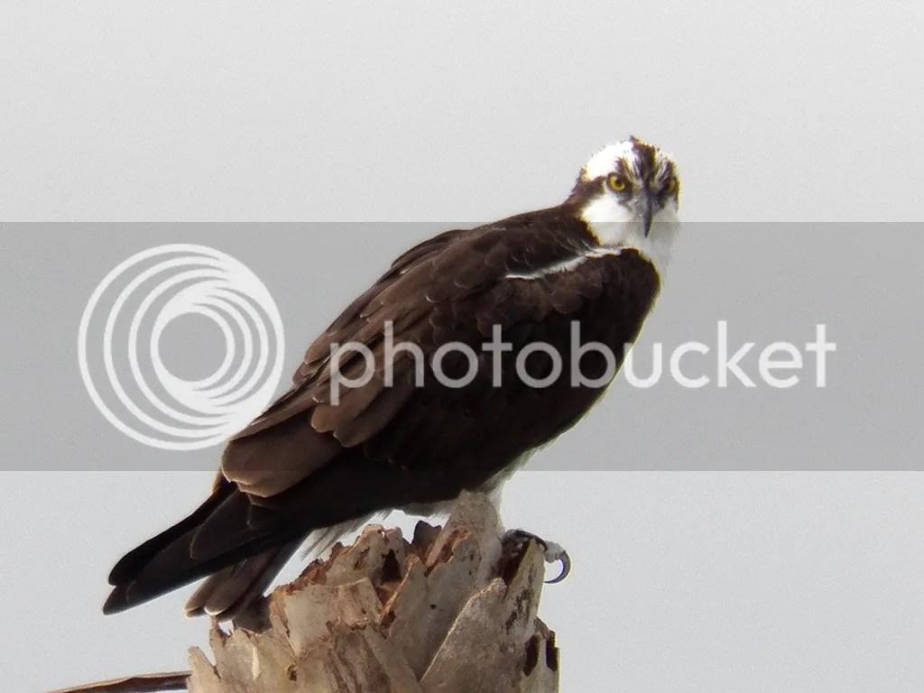 photo osprey.jpg