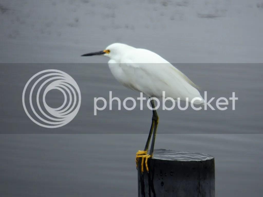 photo snowy-egret.jpg