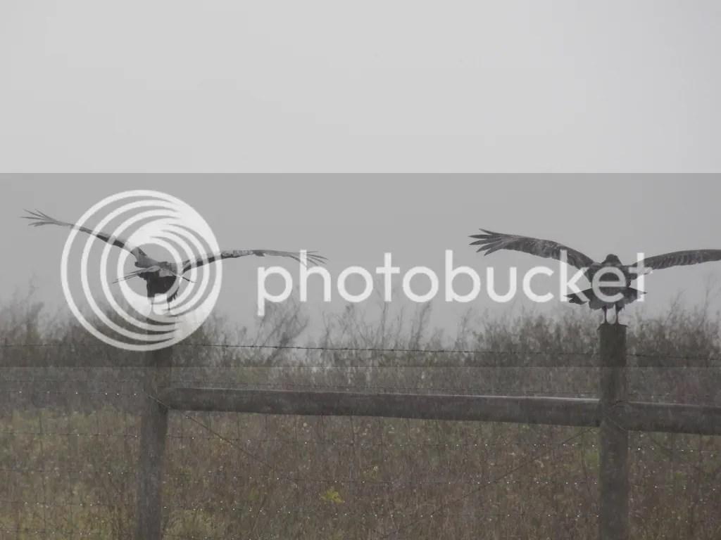 photo wet-vultures.jpg