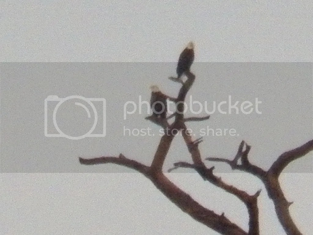 photo distant-eagles.jpg