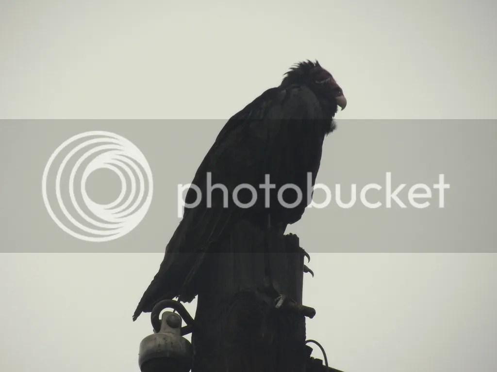 photo forlorn-vulture.jpg