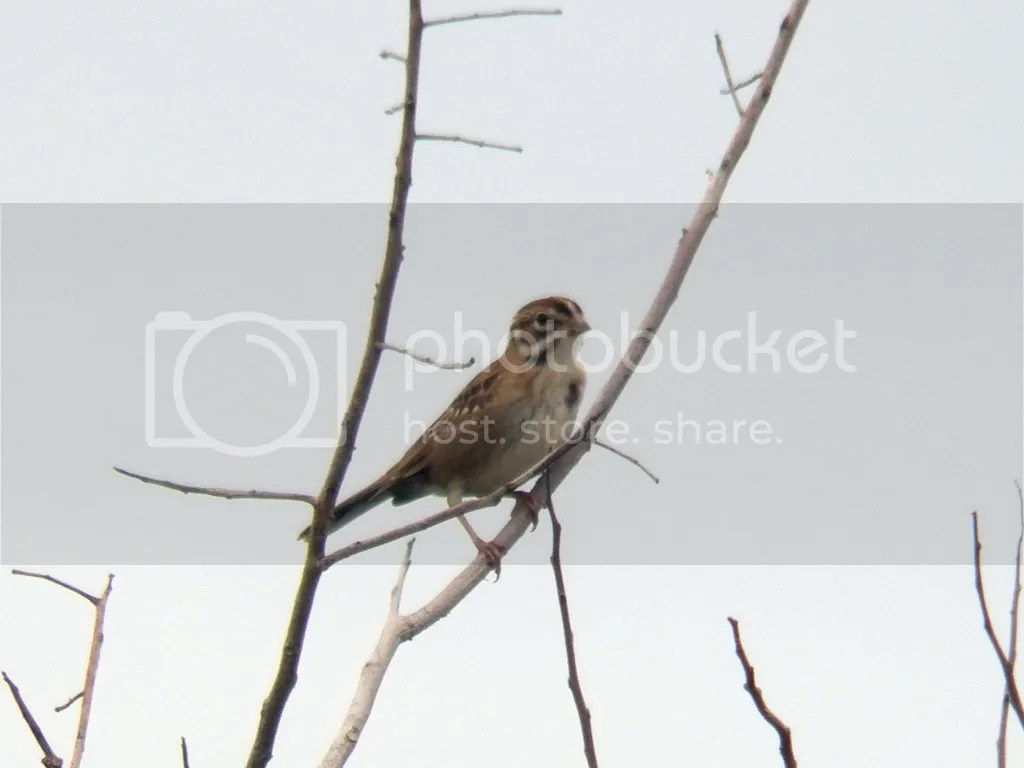 photo lark-sparrow1.jpg