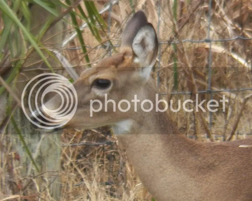 photo deer1.jpg