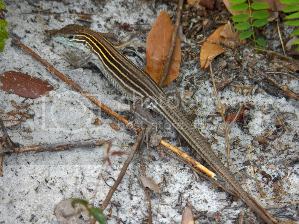 photo six-lined-racerunner.jpg