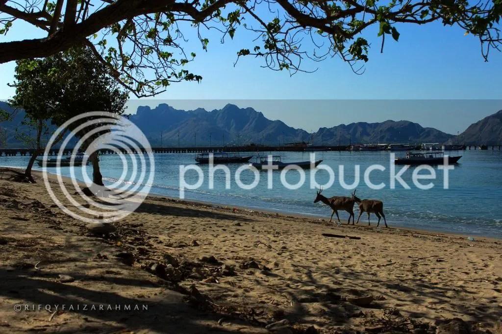 Dua ekor rusa berjalan santai di tepi pantai, berlatar perahu-perahu dan dermaga Loh Liang, Pulau Komodo, Taman Nasional Komodo.