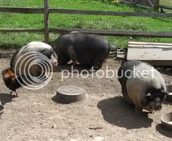 Fat Hogs