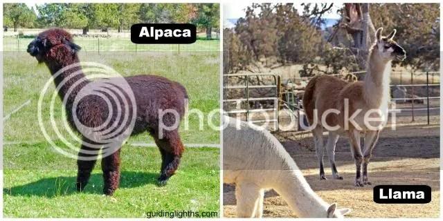 photo AlpacaCollage_zps79fc340d.jpg