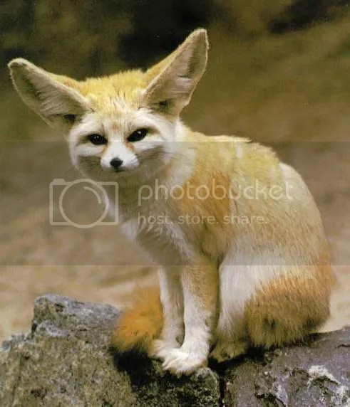 photo Fennec-Fox-05_zps67e17514.jpg
