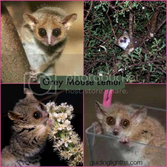 photo LemurCollage_zps9f399d13.jpg