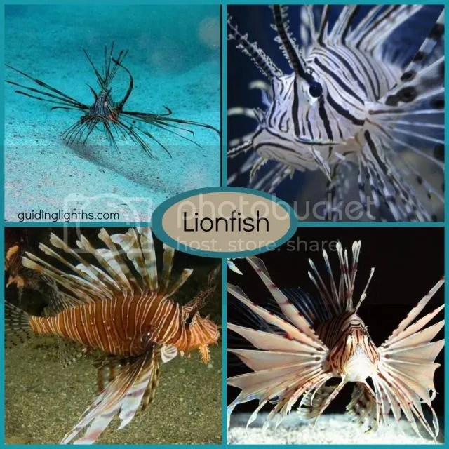 photo LionfishCollage_zps87a1edc7.jpg