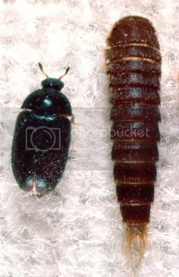 Carpet Beetles Can Be A Nightmare To Get Rid Of And If You Have Large Numbers Them They Cause Allergies Which May Well Explain The Rashes Are