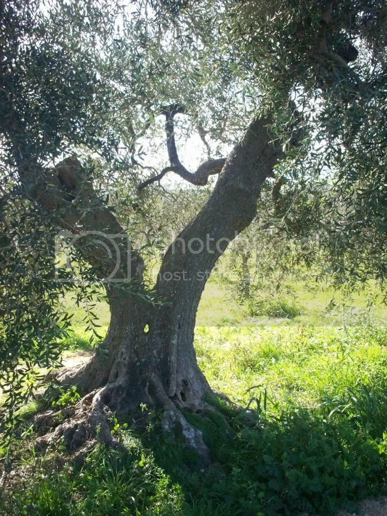 olive tree 1 Pictures, Images and Photos