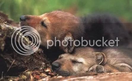 petits-loups-louveteaux-orlu