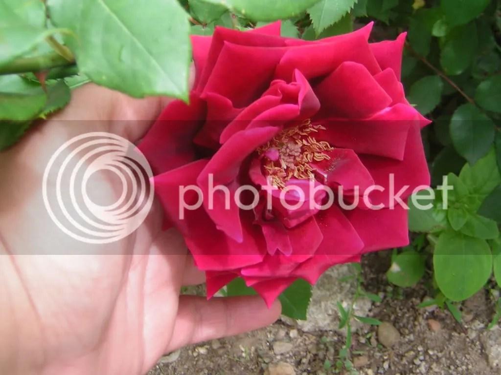 trandafir catifelat